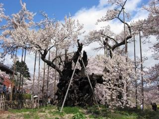 معرفی درخت جیندای زاکورا ؛ درختی که بیش از 2000 سال عمر دارد