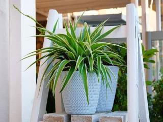 گل عنکبوتی یا گندمی ؛ گیاهی برای تصفیه هوای خانه در برابر آلودگی هوا