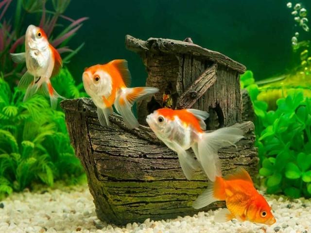 غذای ماهی عید نوروز + نحوه نگهداری صحیح