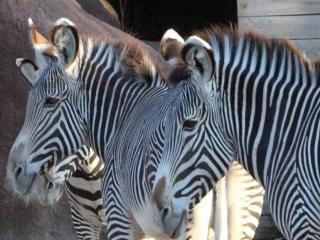 جزئیات مرگ گورخر آفریقایی در باغ وحش صفادشت