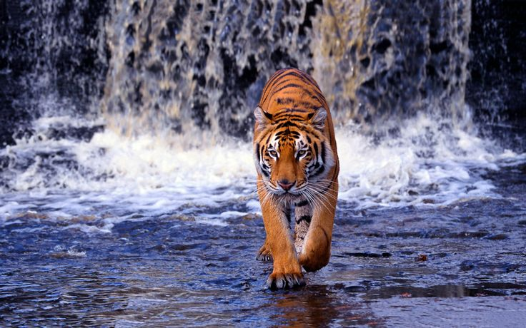 ببر بنگال