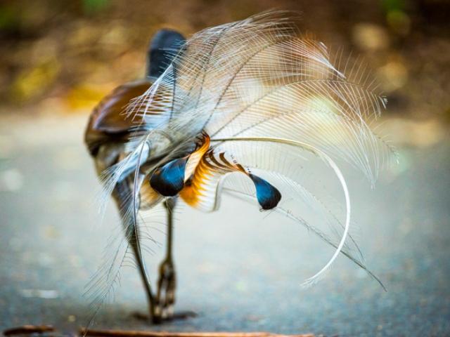 پرنده استرالیایی لایر برد و توانایی تقلید صدا