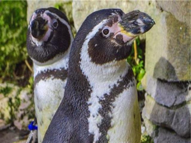 پیرترین پنگوئن جهان درگذشت
