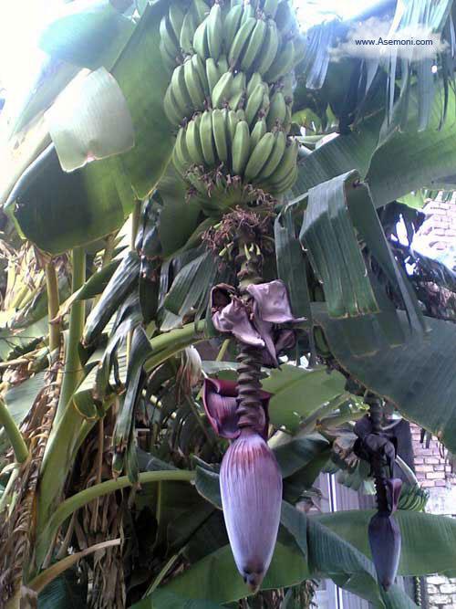 banana-tree3