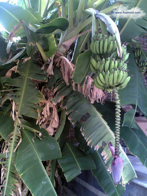 banana-tree4