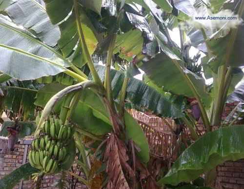 banana-tree5