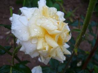 گل های بارانی
