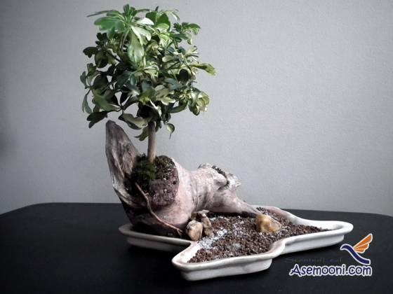 schefflera-actinophylla(2)-