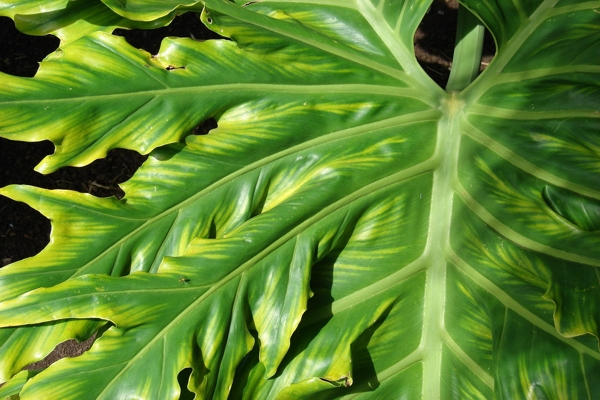 yellowing-of-the-leaves-plant