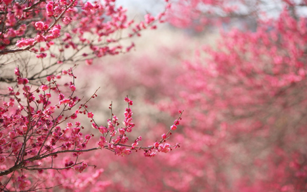 6989099-cherry-blossoms-pink-spring-nature