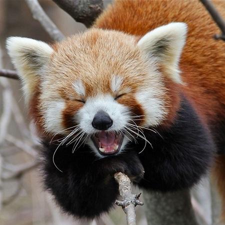 Red-Panda-Laugh