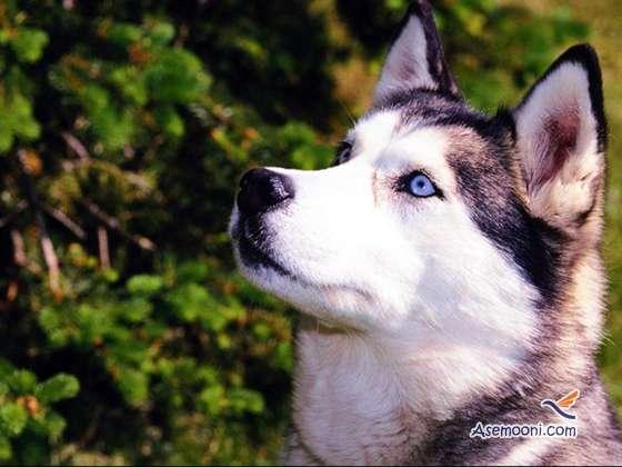 husky(8)
