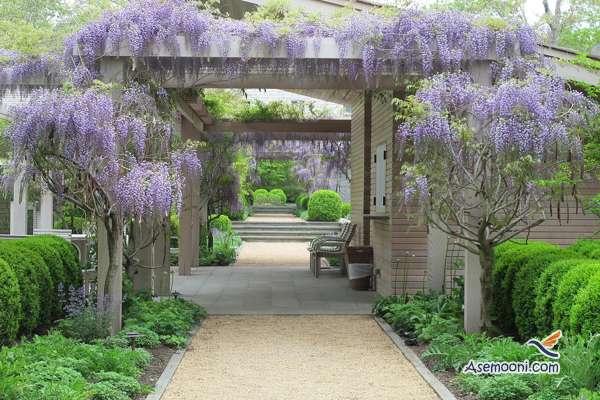 wisteria(10)