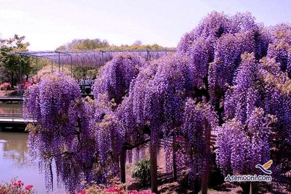 wisteria(12)