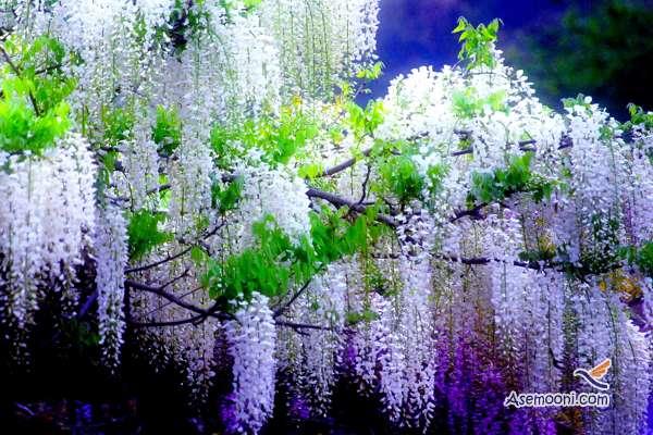 wisteria(2)