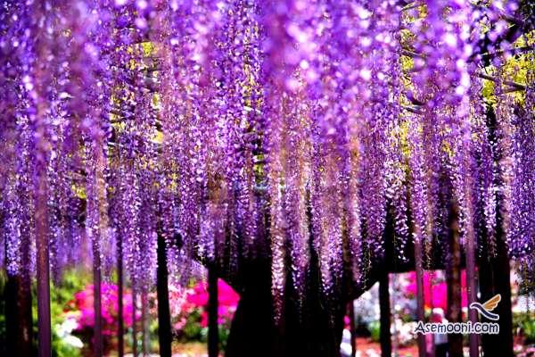 wisteria(3)