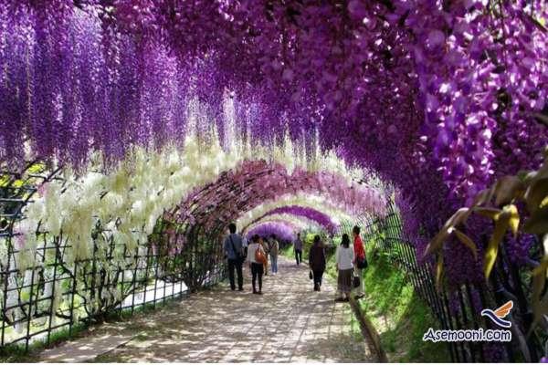 wisteria(4)