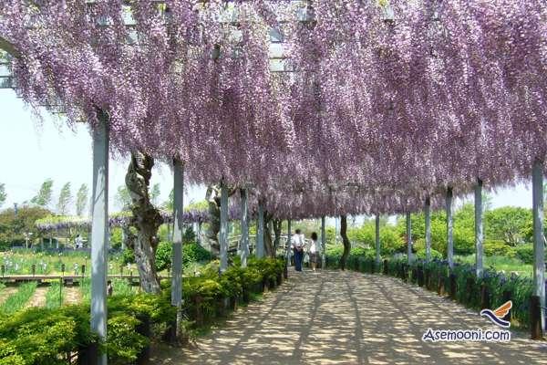 wisteria(5)