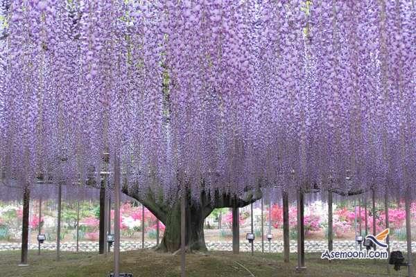 wisteria(7)