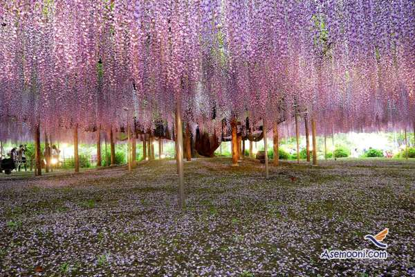 wisteria(9)