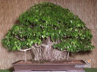 فیکوس بنجامین یک گیاه همیشه شاداب برای خانه