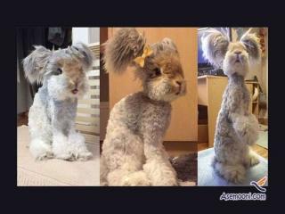خرگوشی عجیب که با داشتن گوش هایی شبیه بال فرشتگان ستاره ی دنیای مجازی شده است