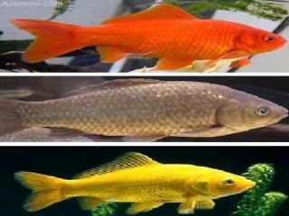 پیشینه هزاران ساله ماهی قرمز در ایران