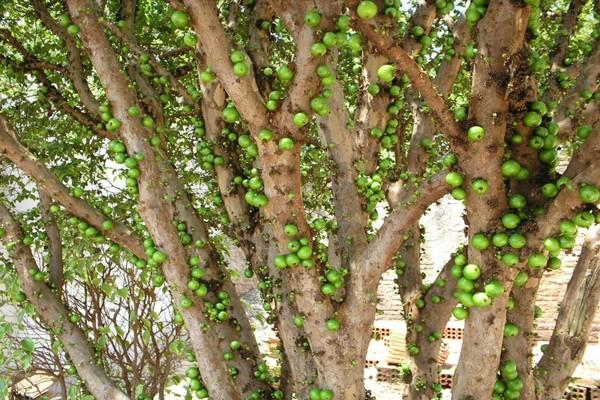 brazil-grapes