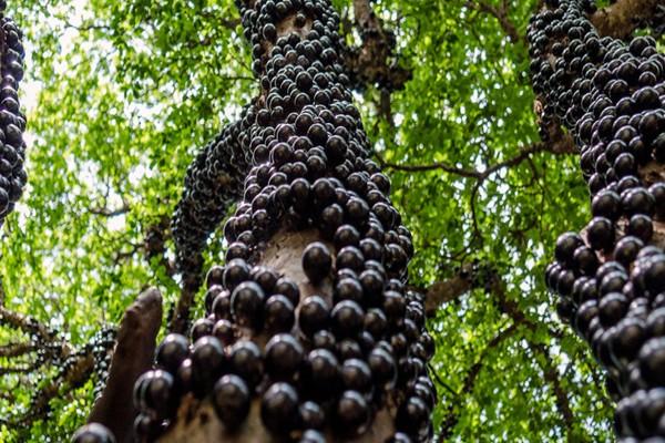 brazil-grapes(1)