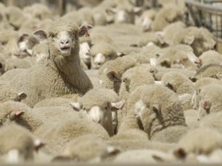 استرالیا خواستار صادرات گوسفند به ایران شد