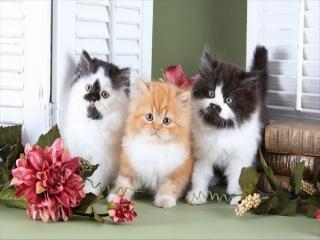 معرفی نژاد گربه های ایرانی