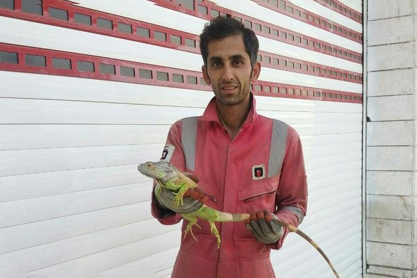 african-lizard-in-a-residential-home-in-mashhad