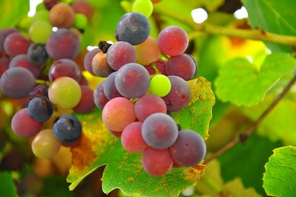 benefits-grapes(1)