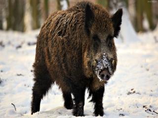 زندگی گراز یا خوک وحشی