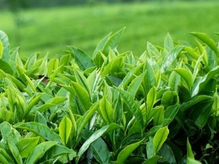 قاچاق بیش از 45هزار تن چای به کشور