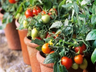 روش کاشت گوجه فرنگی در خانه