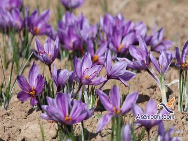 کاشت گیاه زعفران