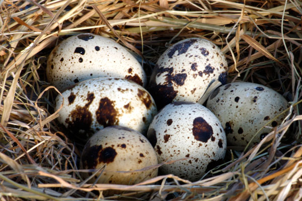 quail-eggs-properties-1