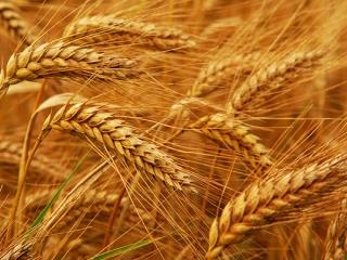 صادرات سه میلیون تنی گندم در راه است