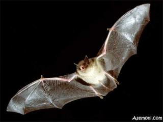 خفاش، پستاندار بالدار