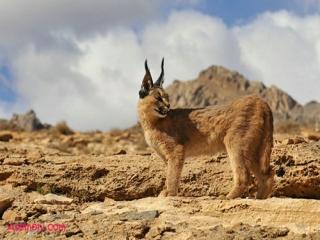 معرفی گربه جنگلی
