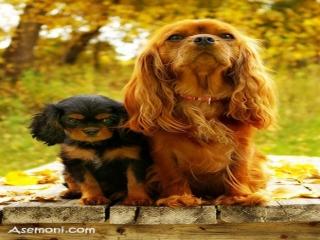 انواع نژاد سگهای عروسکی