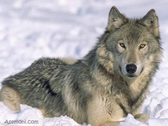 معرفی انواع گرگ ها