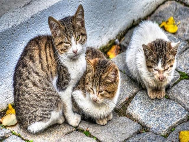 نژاد گربه های خیابانی چیست؟