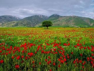 عکس گلهای کوهستانی شمال کشور