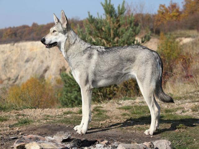 گرگاس ، نژادی غول پیکر از ترکیب گرگ و سگ