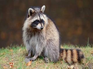 زندگی راکون ها ، پستانداران دوست داشتنی
