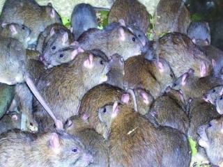 موشهای آدمخوار در انتظار زلزلهزدگان تهرانی!/ بازگشت 70 میلیون موش از لانههایشان بهروی زمین