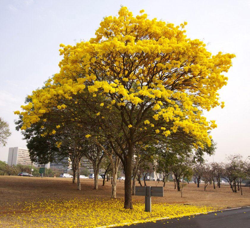 درخت ملی ونزوئلا ‹‹تاب بویا آراگوآنی