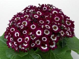 گل سینره در فصل بهار + نحوه پرورش آن